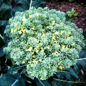 Broccoli grown in the Camp Sealth Garden