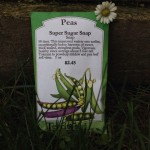 Planting peas in your spring garden