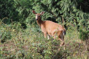 Sealth Deer