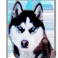 Siberian Husky Mascot